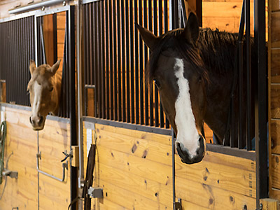 Two horses in stalls inside the stable